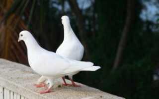 Понос у голубей лечение
