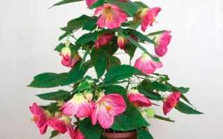 Домашний цветок листья похожи на кленовые
