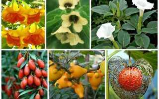 Паслёновые растения фото и названия