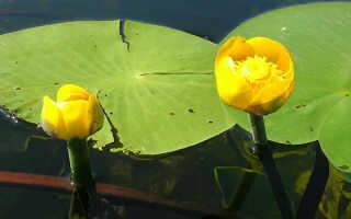 Кубышка желтая в пруду