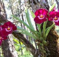 Орхидея мильтония уход в домашних условиях советы