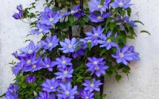 Цветы клематисы посадка и уход видео