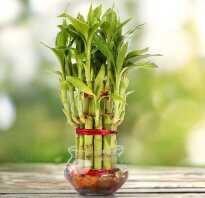 Растение бамбук уход в домашних условиях