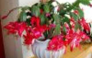 Зига кактус уход в домашних условиях