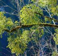 Куст паразит на дереве