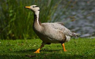 К чему снится гуси с гусятами