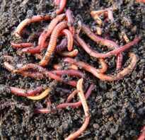 Почему дождевого червя называют другом почвы