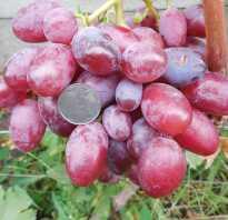 Сорт винограда подарок ирине отзывы