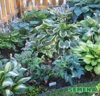Семена хосты как посадить