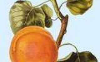 Плодовое дерево семейства миртовых 5 букв