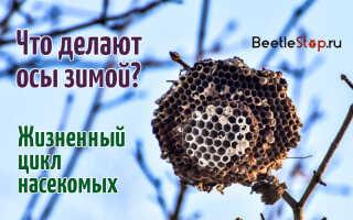 Куда деваются осы зимой