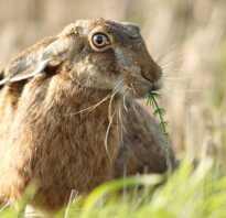 Сколько живут дикие зайцы