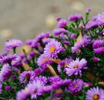 Цветы сентябрина и октябрина фото