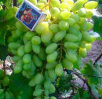 Ультраранние сорта винограда для подмосковья