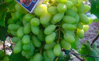 Сорта винограда для подмосковья с фото