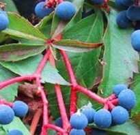 Форма листа дикого винограда