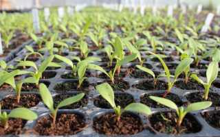 Когда посадить свеклу на рассаду