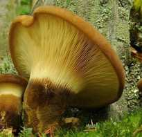Свинушки грибы фото как готовить на зиму