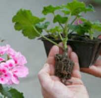 Размножение герани черенками в домашних условиях видео
