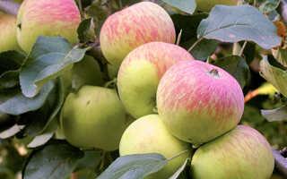 Яблоня боровинка описание сорта фото отзывы