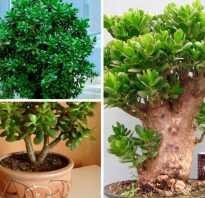 Комнатные растения монетное дерево толстовка